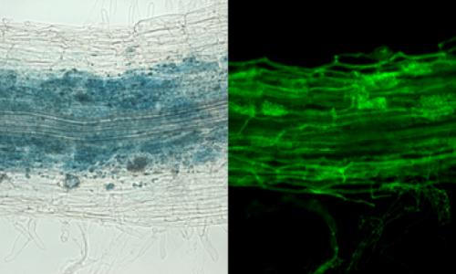 Cell Host & Microbe - Le sécateur moléculaire muté qui protège des coupures